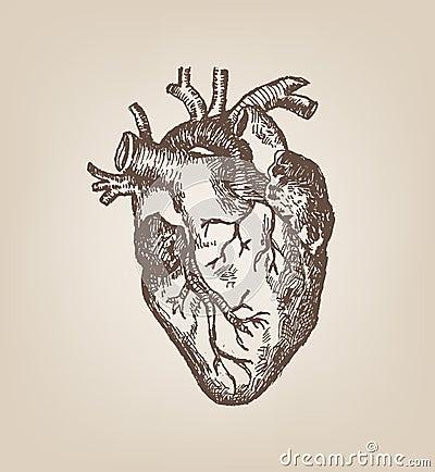 Human Heart Hand Sketch Style. Vintage Editable Clip Art. Stock ...