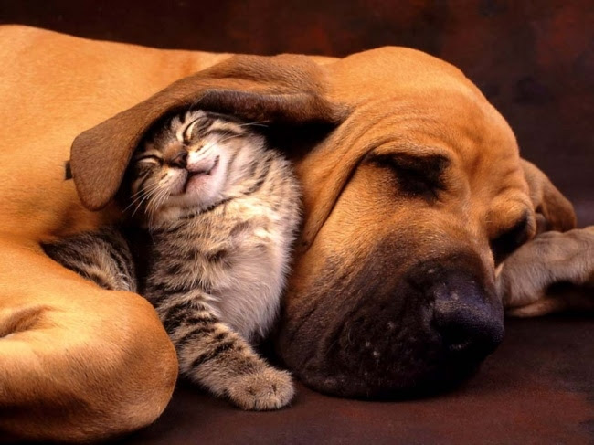 13147160-R3L8T8D-650-KittenDogFriends (650x487, 195Kb)