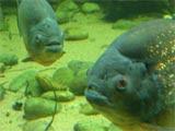 Piranha: Roman's HR Dept
