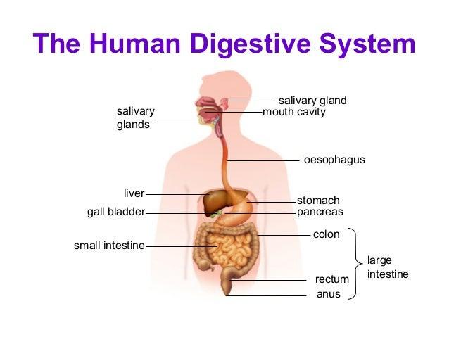 11 human digestive system elearning 35 638