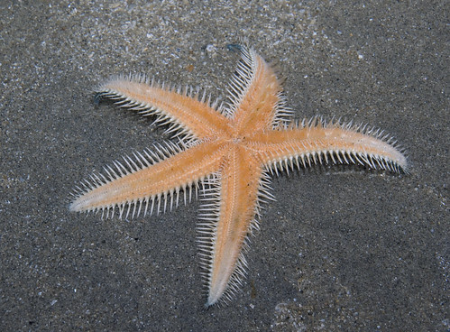 Orange sand star (Astropecten sp.)