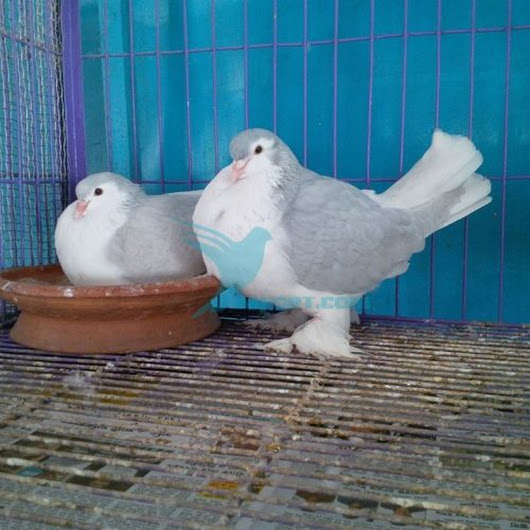 Master Lahore pair for sale - BD Online Pigeon Market