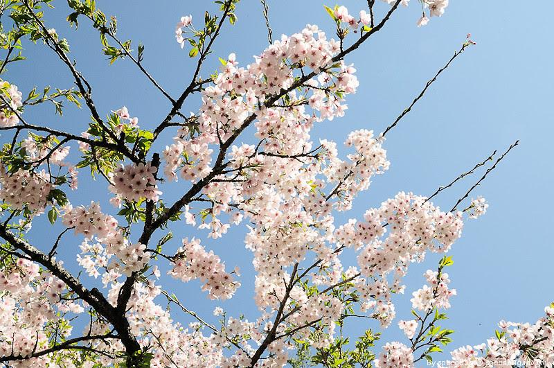 阿里山櫻花季98
