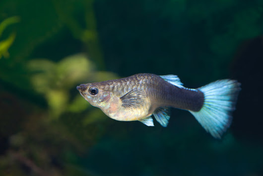 How Do You Know When Your Tropical Fish Is Pregnant?