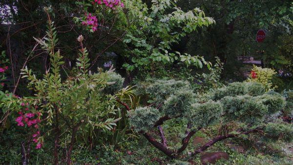 juniperus nuage
