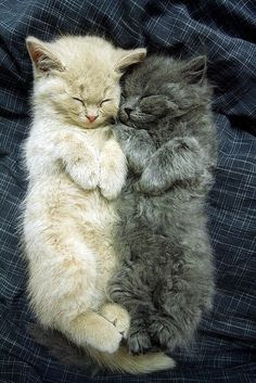Two fluffy kitties having a snoozie time snuggle - Imgur