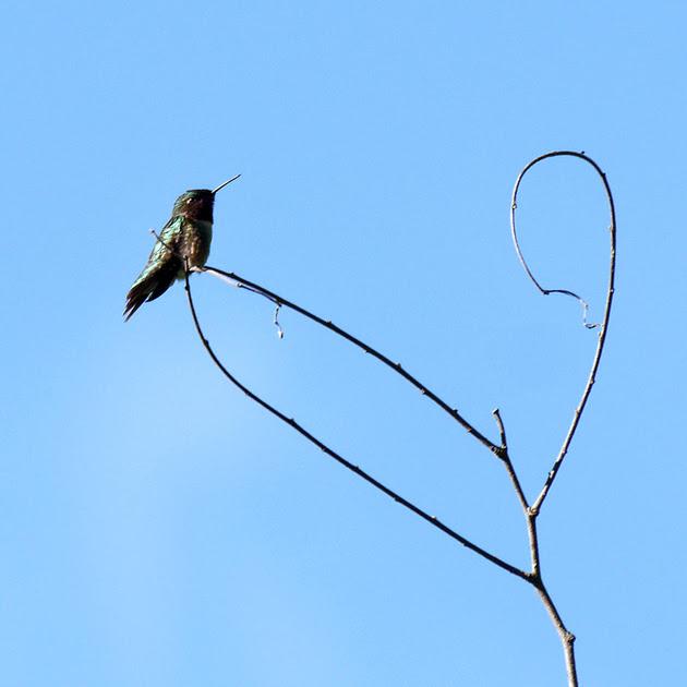 Ed Gaillard: birds &emdash; Ruby-Throated Hummingbird, Prattsville NY