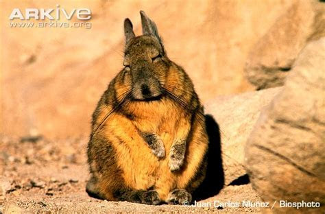 Southern viscacha videos, photos and facts   Lagidium viscacia   Arkive