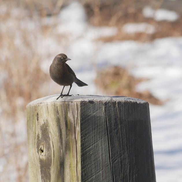 Ed Gaillard: birds &emdash; Rusty Blackbird, Van Cortlandt Park