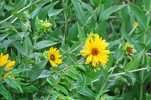 IMG_6279Sunflowers