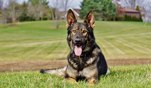 Priority 1 Canine - Protection Dogs: The Ultimate Personal Security