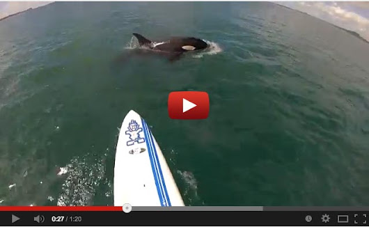 So Sick: Stand Up Paddler's close encounter with Orca on Video