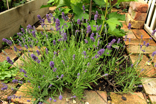 Veg Patch Lavender