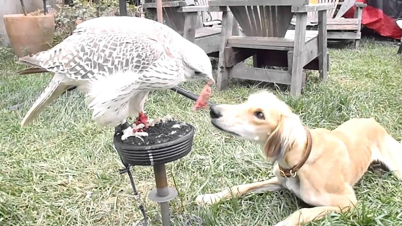 Γερακι ταιζει σκυλο στο στομα