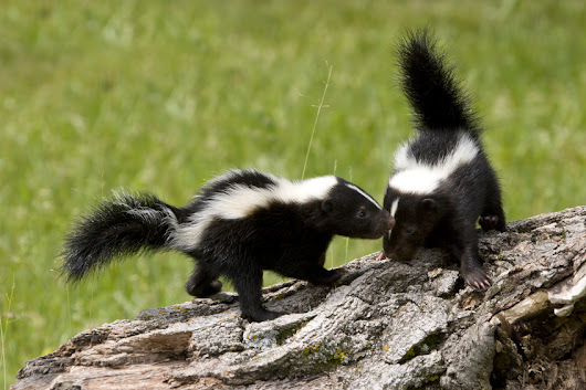 Skunk Mating Season in Northern Illinois Is on its Way: Homeowners Beware | Animal Control Specialists