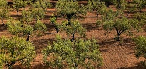 شجرة الزيتون متى تثمر