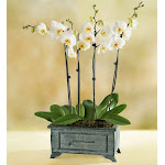 Flower Delivery by 1-800 Flowers Asian Dance Orchid Small Plant
