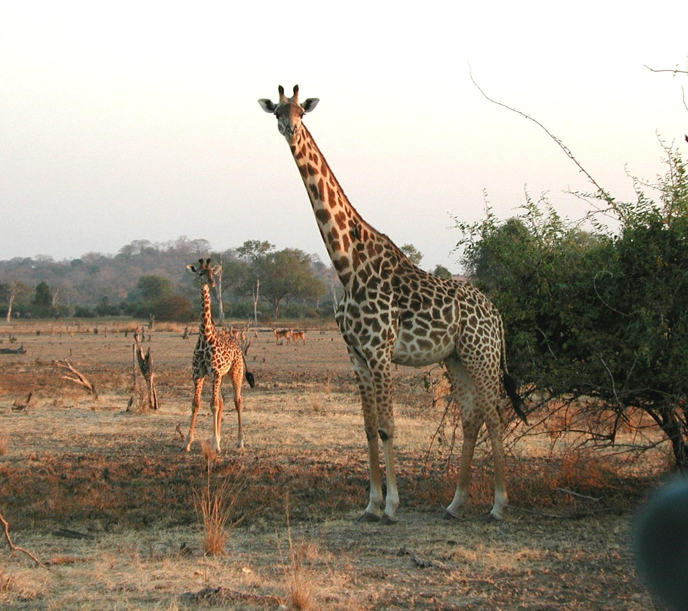 http://upload.wikimedia.org/wikipedia/commons/6/68/Giraffen.jpg