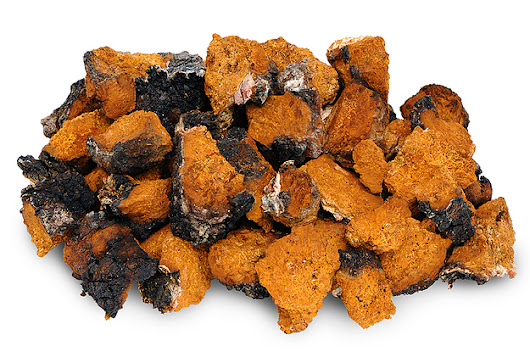 How The Chaga Mushroom Can Help You Be At Optimal Health