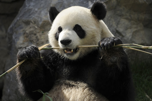 Why giant pandas have to eat and poop all day
