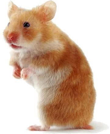 Keeping Hamsters As Pets pet care trust same sex pairs small naturally solitary