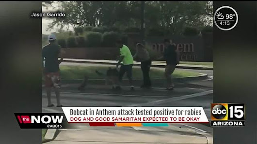 VIDEO: Bobcat attacks dog and man in Anthem; bobcat tests positive for rabies