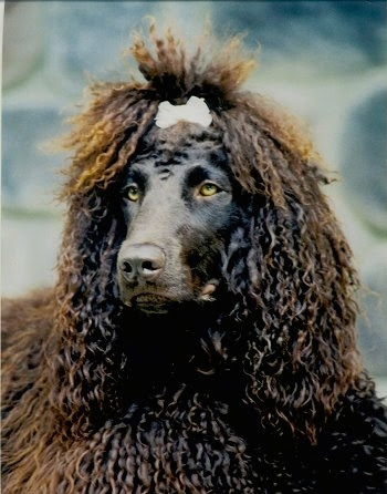 American Water Spaniel Funny Dogs