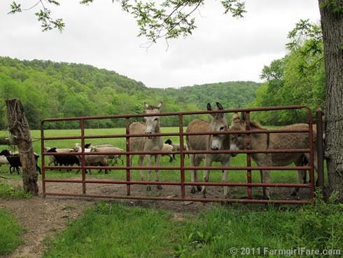 The Daily Donkey 97