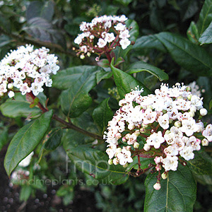 http://www.findmeplants.co.uk/photos/viburnum_tinus.jpg