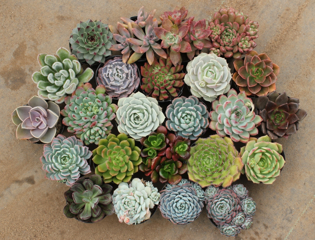 Colorful collection of succulents via The Succulent Source