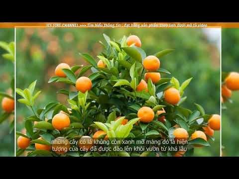 Tìm hiểu về cây Quất trong phong thủy