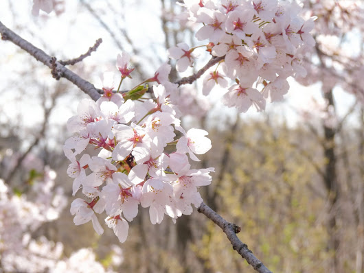 Why Cherry Blossoms Are Amazing To See In Toronto!