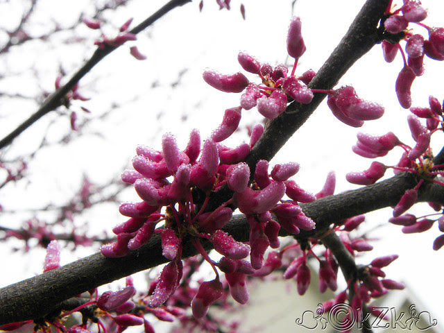 DSCN0917 Red Buds