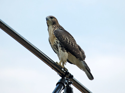 Morningside Red-Tail Fledgling