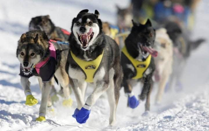 Melissa Stewart's team competes in the official restart of the Iditarod, a nearly 1,000 mile sled dog race across the Alaskan wilderness, in Fairbanks, Alaska.