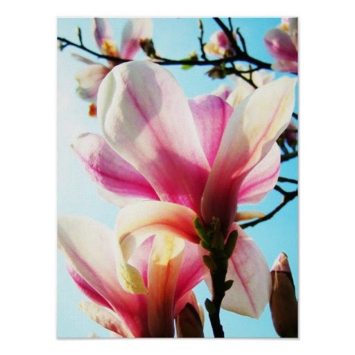 Magnolia flowers - Poster