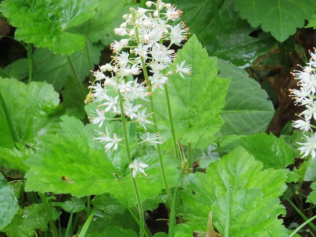Allegheny foamflower