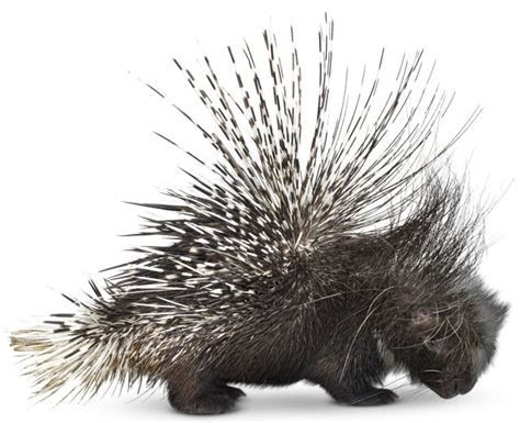Porcupine Facts   Baby Porcupine   DK Find Out