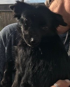 Stella – 18 month old female Chihuahua Cross