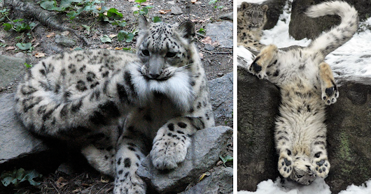 10+ Adorable Snow Leopard Photos To Celebrate The Fact That They're No Longer 'Endangered'