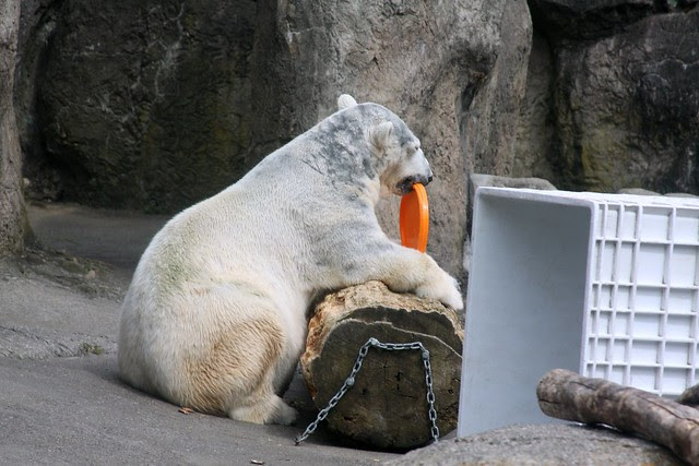 polar bear, oregon zoo