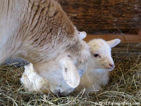 Wednesday random lamb photos 9 - FarmgirlFare.com