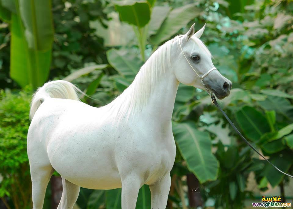 صور حصان ابيض
