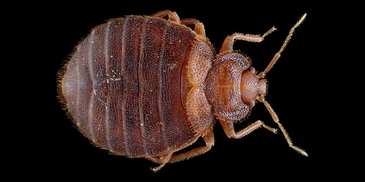 How to Search Your Hotel Room for Bed Bugs | Science Blogs | WIRED