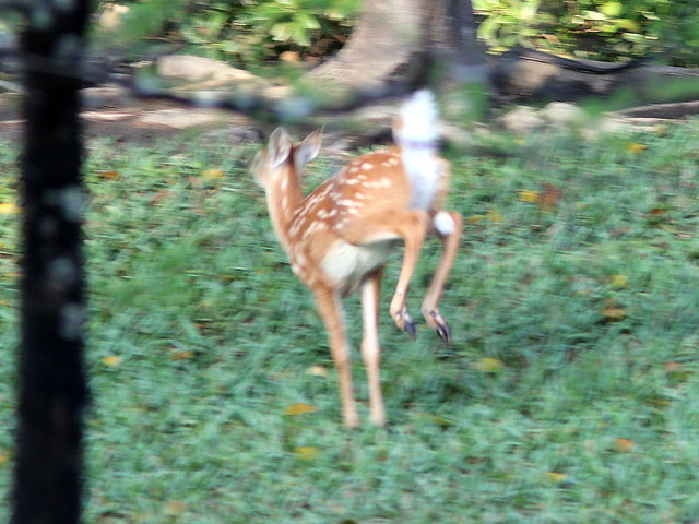 White-tailed Deer fawn fleeing 20130406