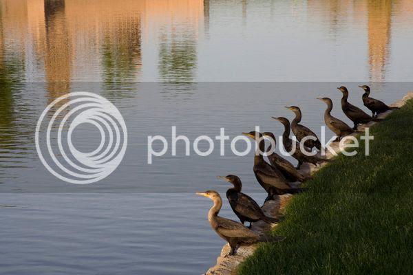 photo _MG_1703 cormorans_zpstzljjg68.jpg