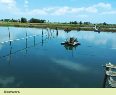 An overview of L. vannamei shrimp aquaculture
