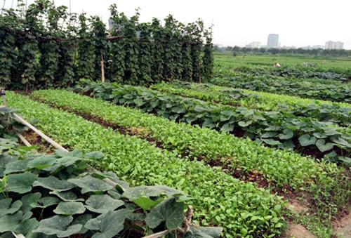 công-chức, nông-dân, máy-lạnh, lương-ba-cọc-ba-đồng, nghỉ-việc, trồng-rau, rau-sạch, thuê-đất,