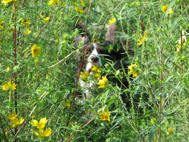 Spaniel in the flowers