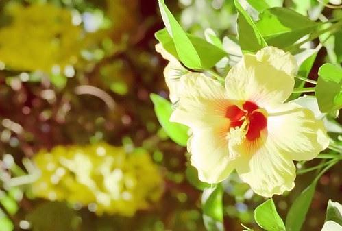 ubiquitous hibiscus